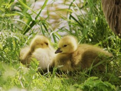The cutest ducklings ever!