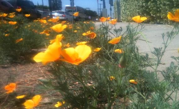 californiapoppies