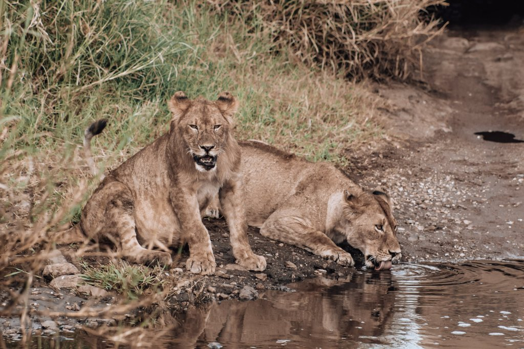Lions in Serengeti. What to Pack for a Tanzania Safari
