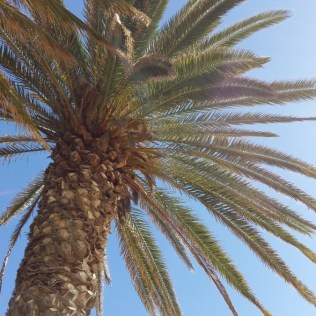 fuerteventura-palm-tree