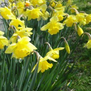 Photo Card - Daffodils