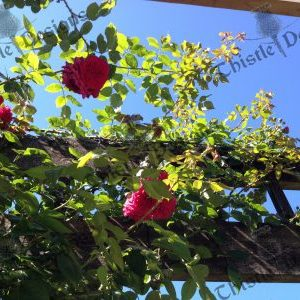 Photo Card - Rose Trellis