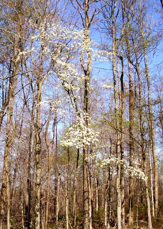 white-flowering-dogwood