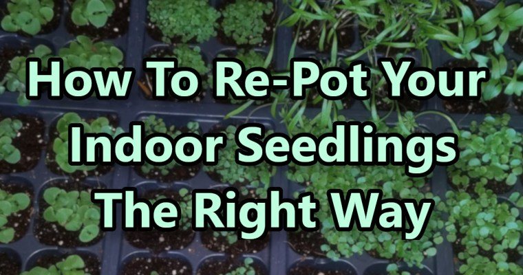 How To Re-Pot Your Indoor Seedlings the Right Way