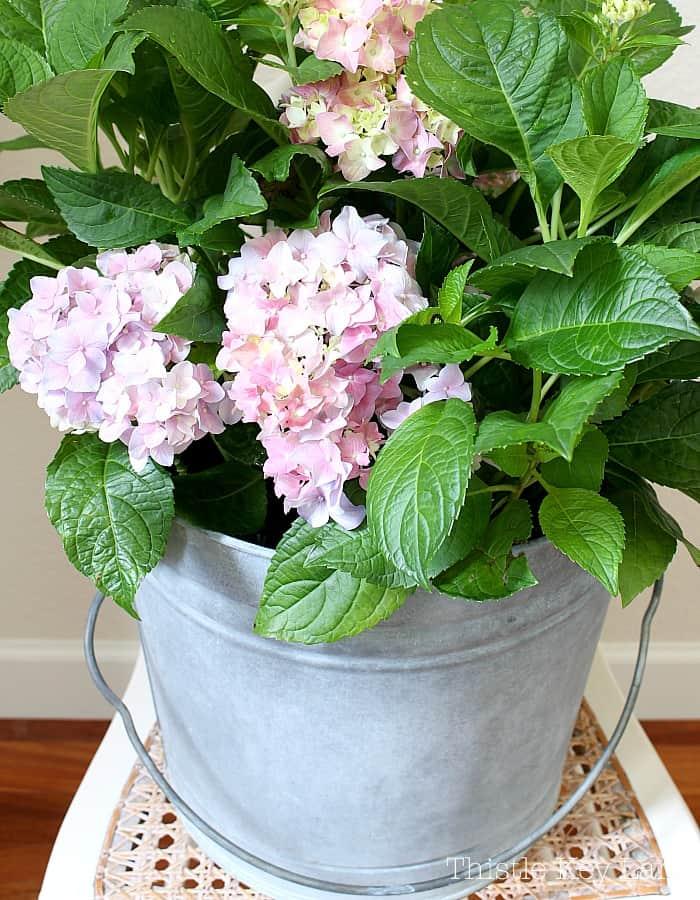 Simple hydrangeas in an aged bucket.