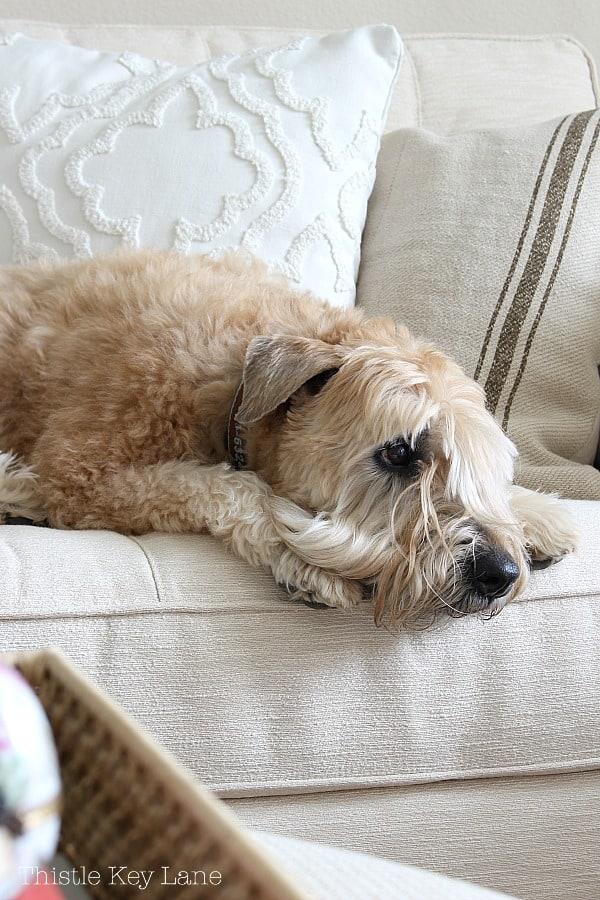 Wheaten terrier on the sofa.