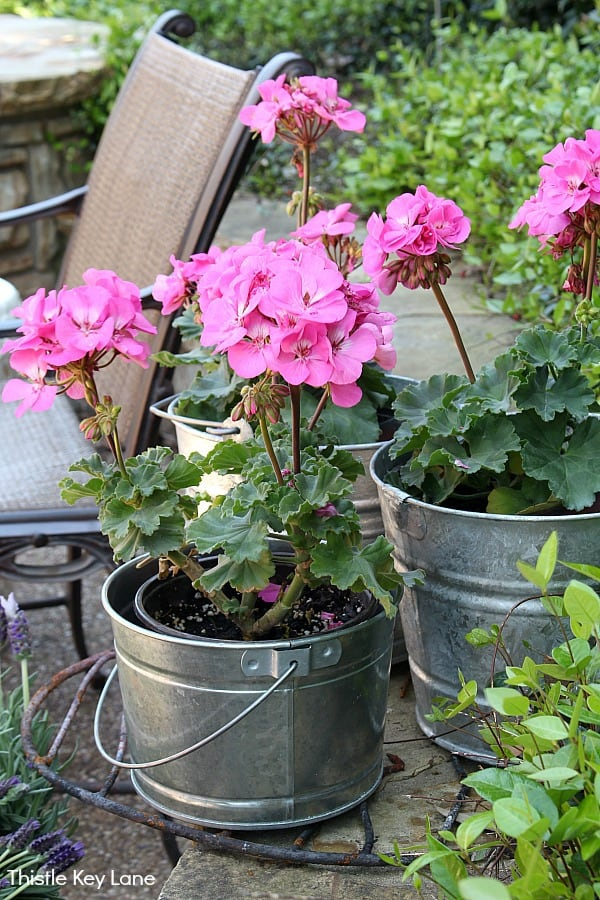 Geraniums sitting in buckets on patio.
