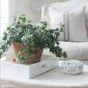 Ivy plant terra cotta pot on white tray.