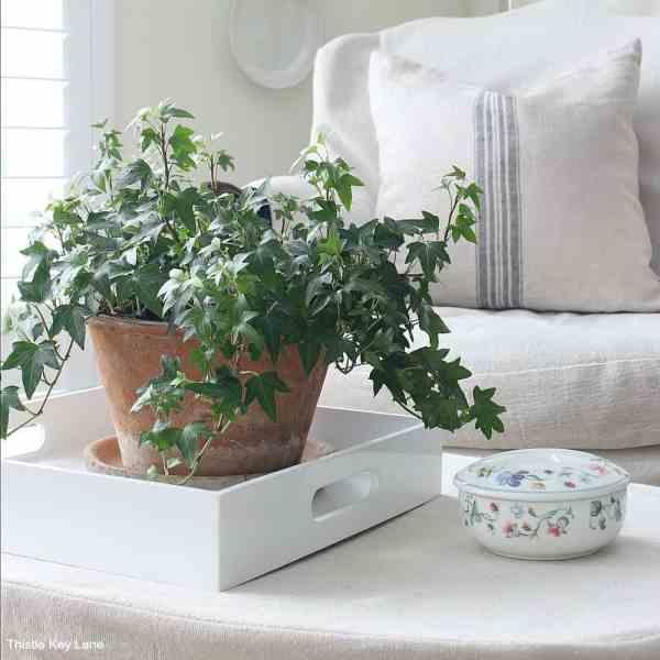 Ivy plant terra cotta pot on white tray.