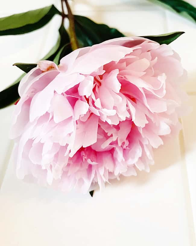 how to get peonies to bloom flower