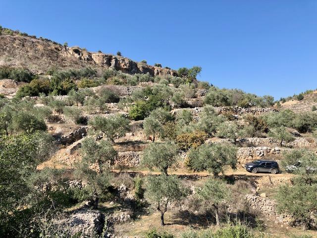 Battir ancient olive trees