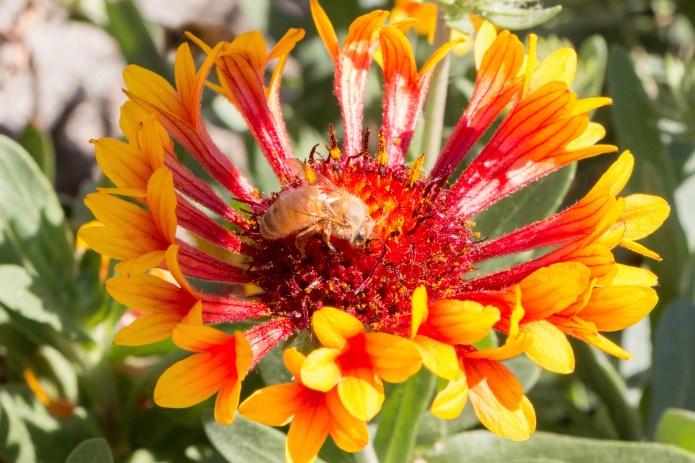 Bee (Canon 70D)