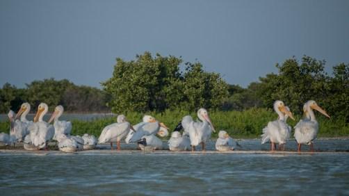 Rio-Lagartos Pelicans