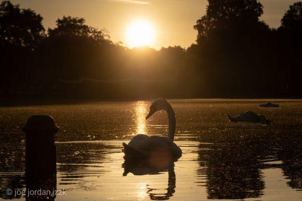 ©Joe J - Swan Lake