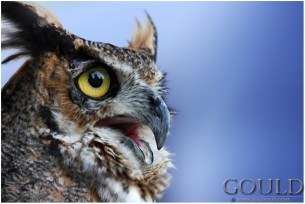 OwlCallweb