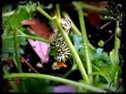Swallow Tail Caterpillar