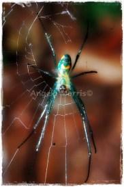 Orchard Weaver Spider