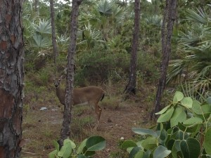 A dwarf deer on Big Pine Key