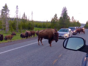 Bison traffic jams