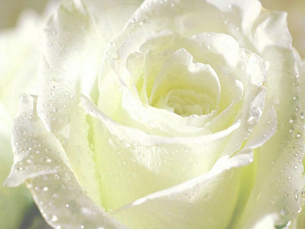 Chuyện ngày xưa ngày nay - Hoa hồng bạch