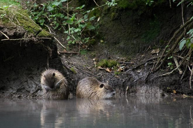Une photo de deux ragondins prise en affût billebaude