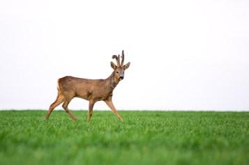 Photo d'un chevreuil dans l'herbe, le photographe est camouflé