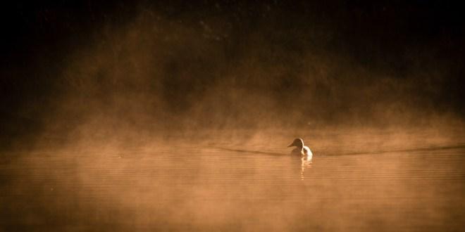 un canard à la surface d'un étang baigné par la brume