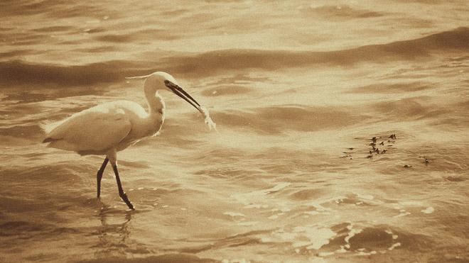 Photo d'une aigrette pêchant un poisson dans la mer