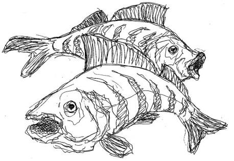 Fische Flussbarsche