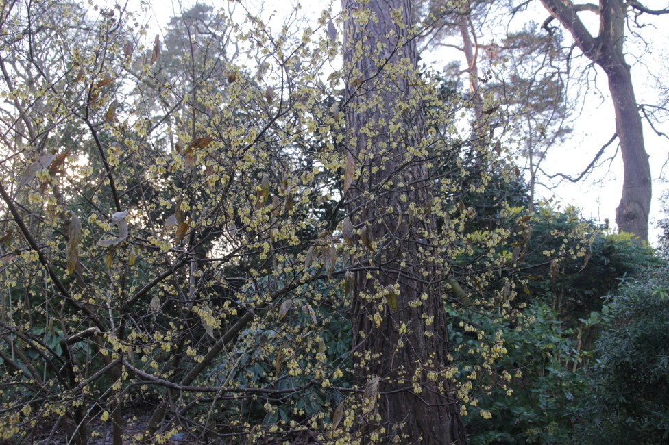 chimanathus praecox 2 Plant of the week Chimonanthus praecox