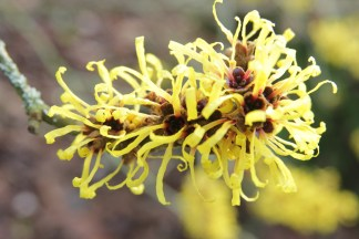 hamamelis mollis boskoop Hamamelis, the winter Witches of Sir Harold Hillier Gardens
