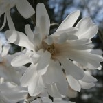 stellata centennial1 February's ramblings…
