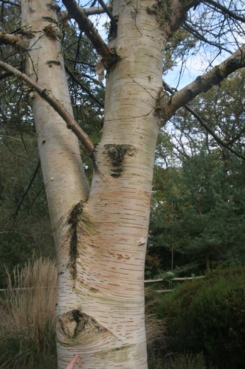 betula-ermanii-pubescens