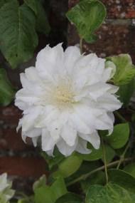 clematis artic queen Job of the week  pruning clematis