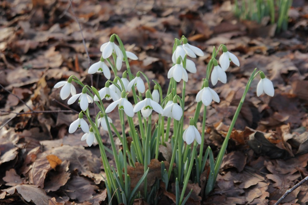 galanthus mrs w m george 2 Plant of the week Galanthus Mrs W.G.George
