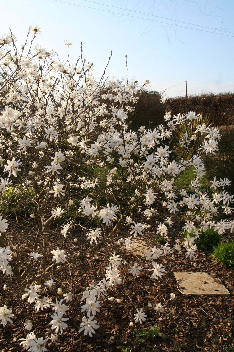 053 Plant of the week  Magnolia x loebneri Leonard Messel