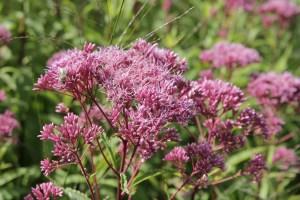 eupatorium purpureum purple bush Planting herbaceous plants for Butterflies and Bees