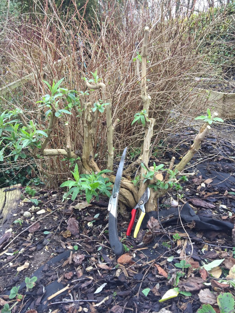 img 2127 Job of the week  Pruning Buddleja