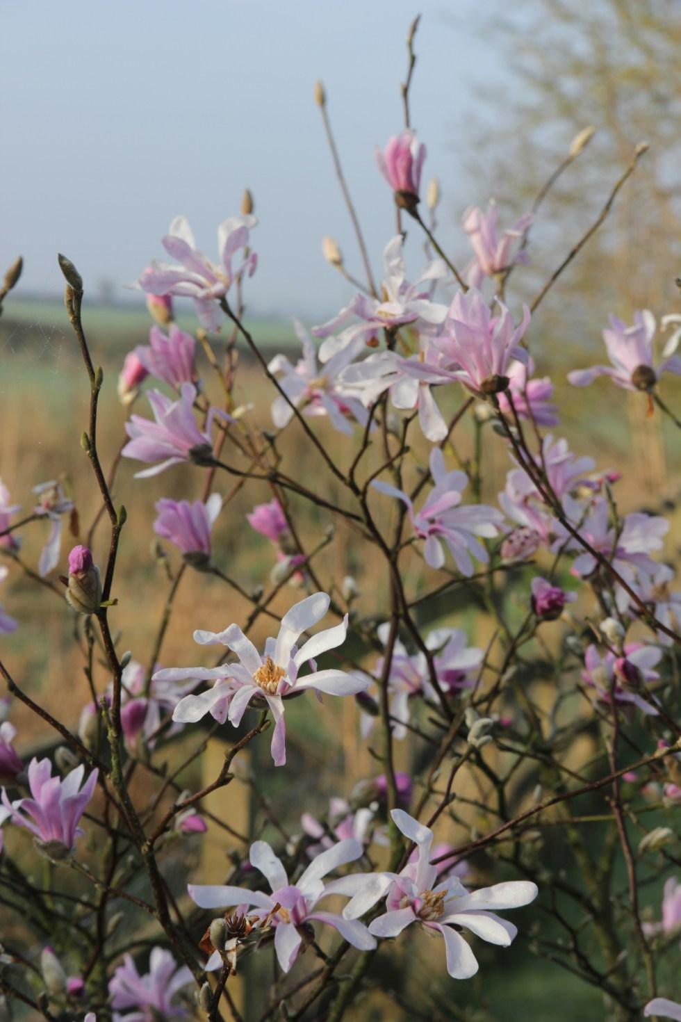 img 3420 Plant of the week  Magnolia x loebneri Leonard Messel