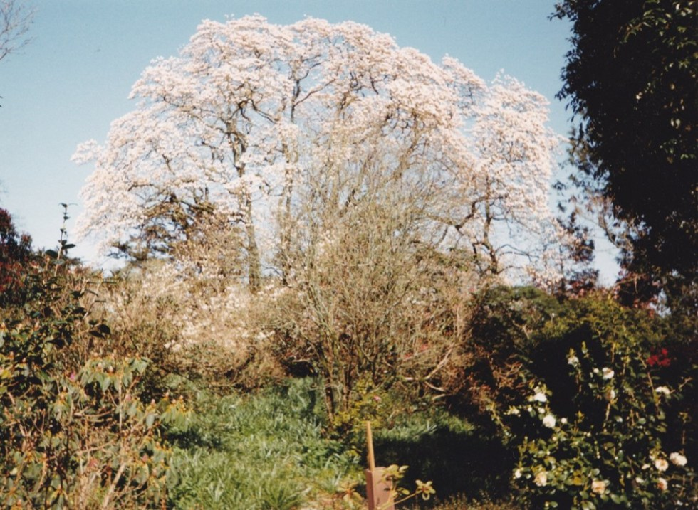 picture1 Plant of the week Magnolia campbellii