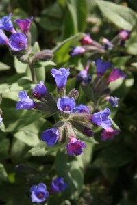 pulmonaria beths blue Planting herbaceous plants for Butterflies and Bees