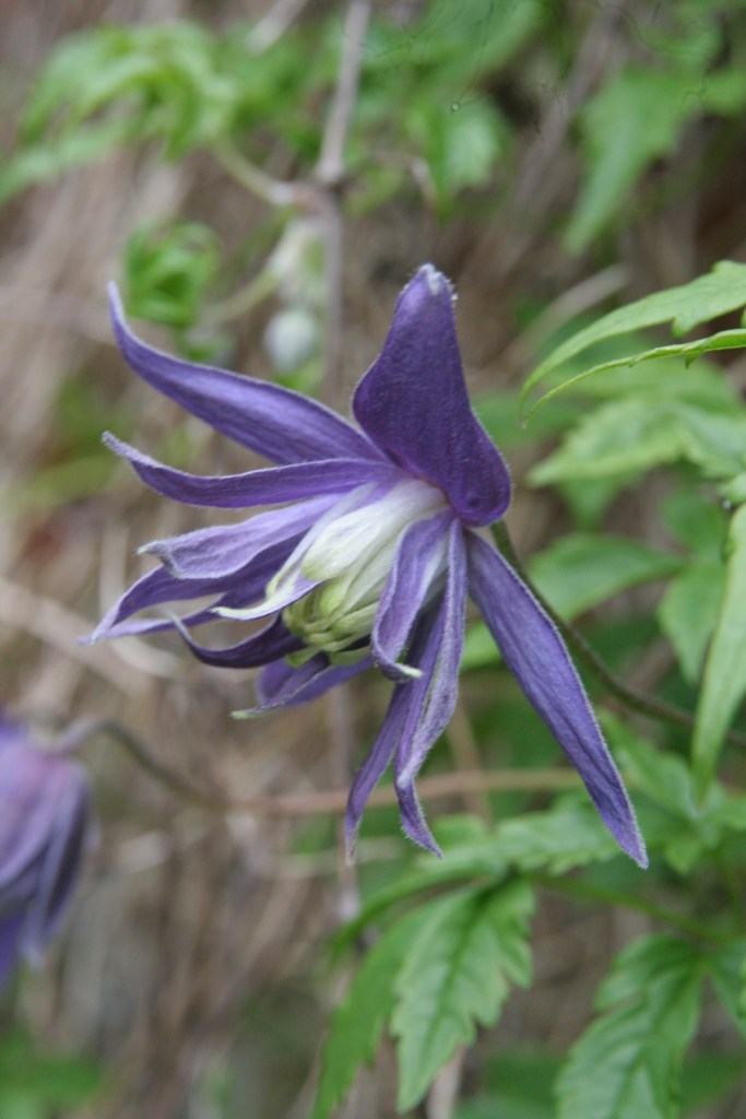 clematis macrocarpa maidwell hall Plant of the week  Clematis Macropetala