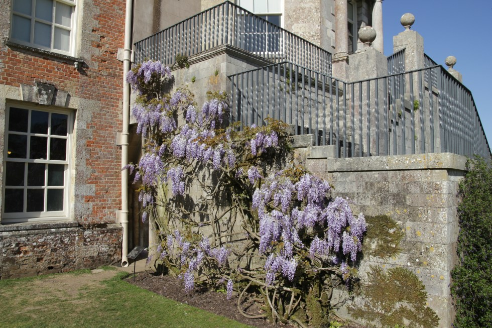 img 1108 Plant of the week  Wisteria sinensis