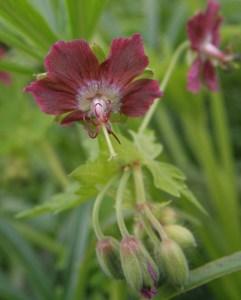 phaeum rose madder Plant of the week  Geranium phaeum