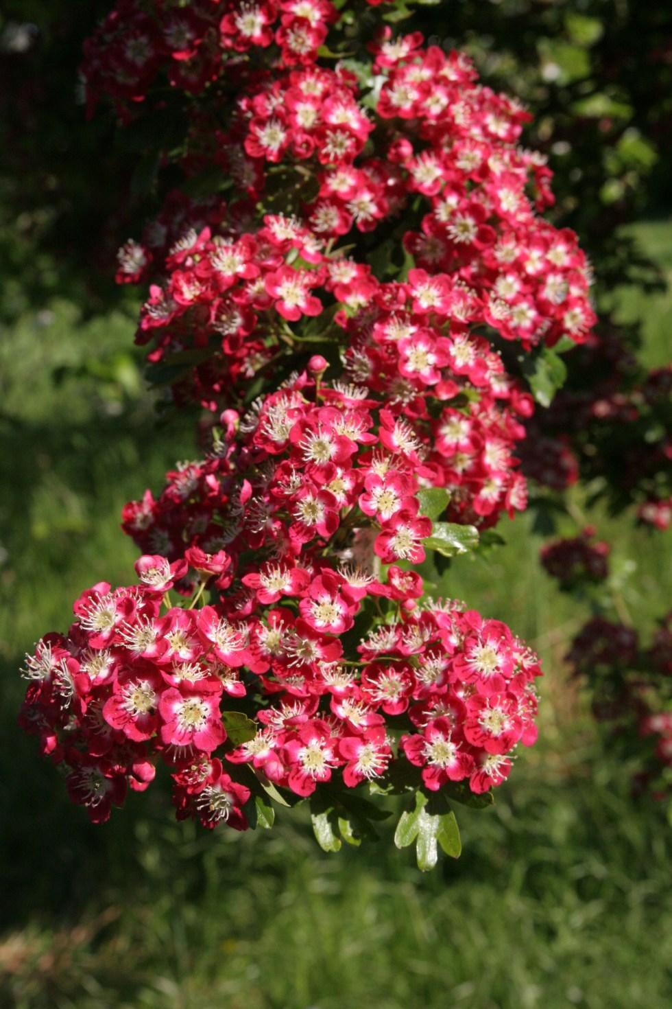 crataegus monogyna coccinea plena Plant of the week  Crataegus laevigata Pauls Scarlet