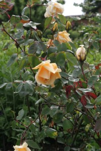 lady hillington Rose of the week  Climbing Lady Hillingdon