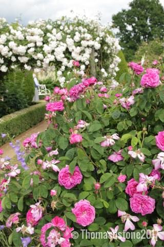 img 0355 Rose of the week  Duchesse de Buccleugh