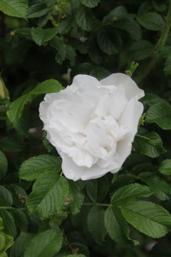rosa blanc double de combert 2 Lets not forget our heritage roses