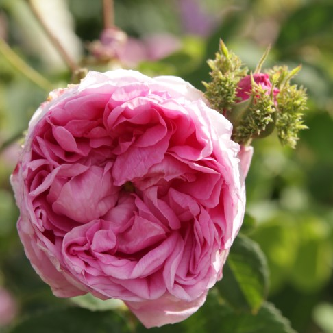 rosa cristata Lets not forget our heritage roses