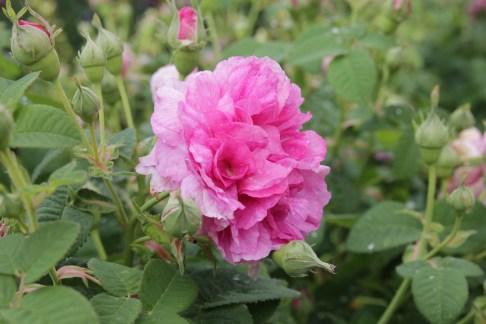 rosa empress josephine 2 Lets not forget our heritage roses